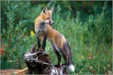 Wood print  Red fox looking for prey