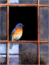 Canvas print  Bluebird at the window - Chris Vest