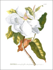 Canvas print  Magnificent Magnolias I - Jacob Trew