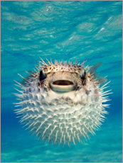 Wood print  Inflated puffer fish