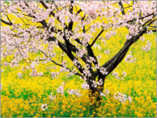 Canvas print  Flowering cherry tree in mustard field