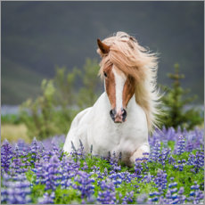 Canvas print  Glamorous Icelandic horse in lupine field