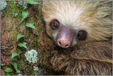 Gallery print  Baby Sloth