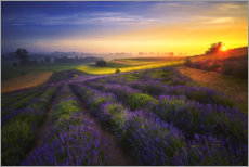 Acrylic print  Sunrise on the lavender field - Rafal Kaniszewski