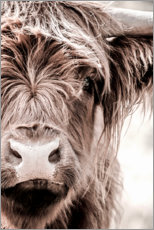 Acrylic print  Scottish beef - Art Couture