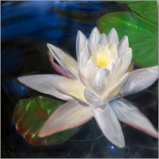 Acrylic print  Waterlilly-white - Jonathan Guy-Gladding