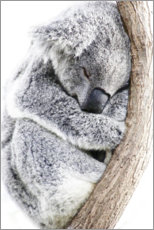 Canvas print  Sleeping Koala II - Art Couture