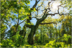 Acrylic print  Large oak tree in the Hainich National Park - Oliver Henze