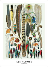 Acrylic print  Feathers (french) - Wunderkammer Collection