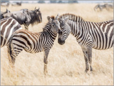 Canvas print  Adults and young zebras - Jaynes Gallery