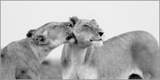 Canvas print  Lionless together - Jaynes Gallery
