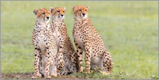 Premium poster  Three concentrated cheetahs - Jaynes Gallery
