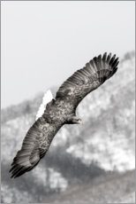 Canvas print  Sea eagle - Darrell Gulin