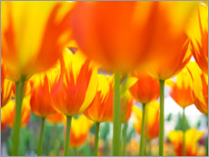 Acrylic print  Red-yellow tulips - Terry Eggers