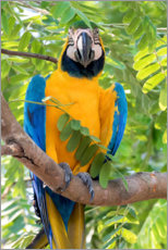 Wood print  Yellow-breasted Macaw on a branch - Ken Archer