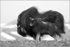 Aluminium print  Musk ox with calf - Ken Archer