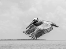 Premium poster Pelican is flying over the Caribbean Sea