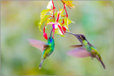 Premium poster  Two hummingbirds on a flower - Jaynes Gallery