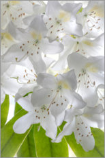 Premium poster White rhododendron flowers