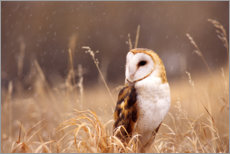 Canvas print  Barn Owl in the grass