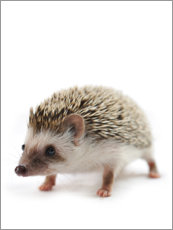 Premium poster  African pygmy hedgehog