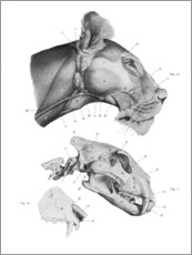 Wood print  Anatomy of the Lion III - Wunderkammer Collection