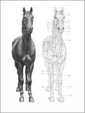Premium poster Anatomy of the horse