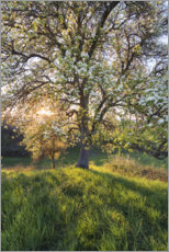 Premium poster  Blossoming pear tree in the sunset light - Sven Müller