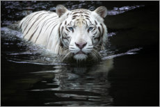 Premium poster  White Tiger - Renee Doyle