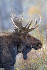 Foam board print  Majestic moose in profile - Elizabeth Boehm