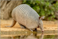 Premium poster Armadillo while drinking