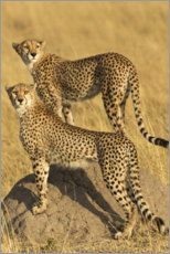 Aluminium print  A pair of cheetahs - Jones & Shimlock