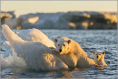 Premium poster  Polar bear cub with mother swimming - Paul Souders
