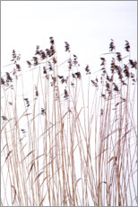 Acrylic print  Reeds in winter - Paivi Vikstrom