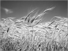 Premium poster  Wheat in the summer