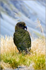 Gallery print  Kea is sitting in the grass - Fredrik Norrsell