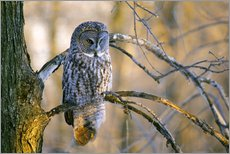 Wall Stickers  Great gray owl on a branch - Gilles Delisle