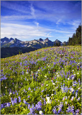Gallery print  Flower meadow in front of Mount Rainier - Chuck Haney