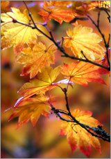 Wall sticker  Maple leaves in autumn - Janell Davidson