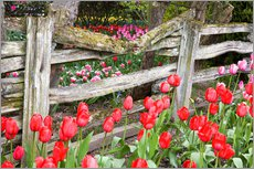Gallery print  Tulips in front of a wooden fence - Jamie & Judy Wild