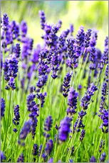 Wall sticker  Close up of lavender flowers in a field - Rob Tilley