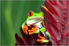 Gallery print  Red-eyed tree frog on leaf - Adam Jones