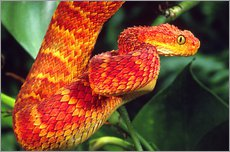 Gallery print  Red bush viper on tree - David Northcott