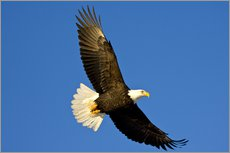 Wall sticker  Bald eagle in flight - David Northcott