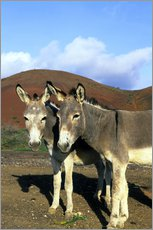 Gallery print  Two friendly donkeys - Kevin Schafer