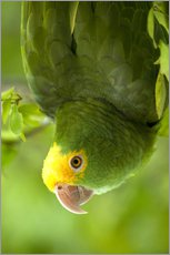 Gallery print  Yellow-headed Amazon - Pete Oxford