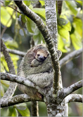 Gallery print  Three-finger sloth rests on tree - Don Grall