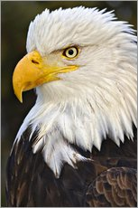 Gallery print  Head of a bald eagle - Adam Jones