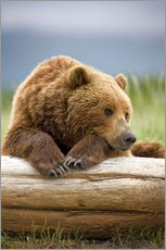 Gallery print  Brown bear is relaxing on tree trunk - Paul Souders