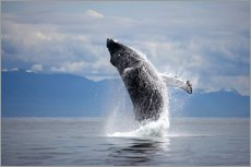 Gallery print  Humpback whale in the jump - Paul Souders